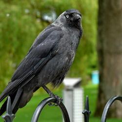 Vogel serie 118. Zwarte kraai.