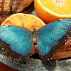 Morpho oeleides op sinaasappel