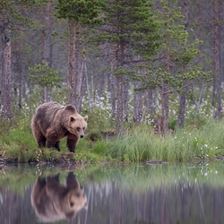 Bear with reflection