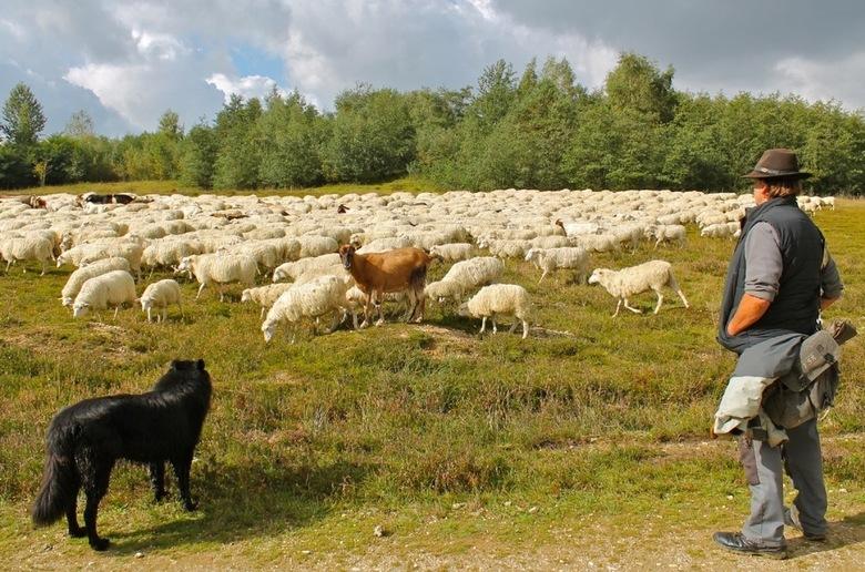 De schaapherder met de schaapjes en de bokjes