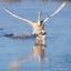 landing zwaan op ijs