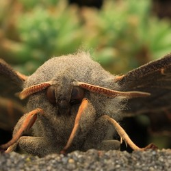 Populier pijlstaart vlinder