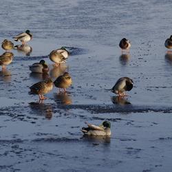Watervogels op het ijs