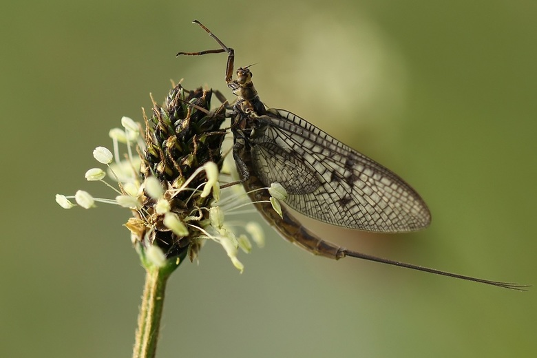 Eendagsvlieg - Eendagsvlieg, haft, op een weegbree bloem.