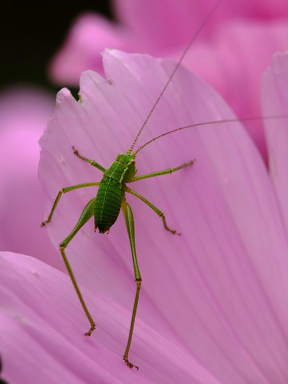 Op lange poten groene krekel macro foto van macmodus zoom op lange poten groene krekel altavistaventures Image collections