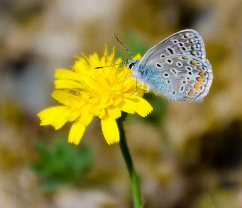 Toscaans vlindertje - Dit mooi vlindertje tegen gekomen in het mooie Toscane.