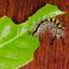 Witvlakvlinder rups
