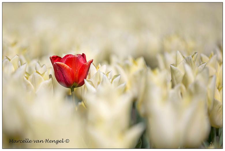 tulpenvelden Ooltgensplaat