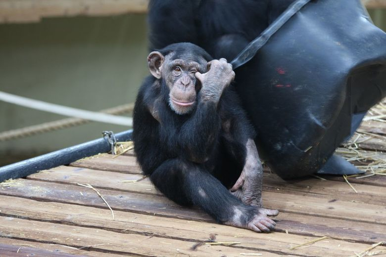 Chimpansee -