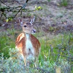 Hiding Deer..