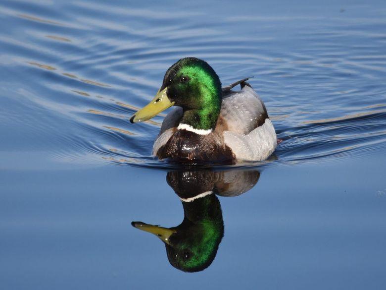 Just a duck - Schoonheid  in de spiegel