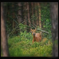 Reegeit tussen de bosbessen struikjes