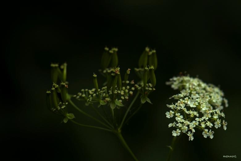Fluitenkruid - Deze Schermbloem stond op een donker bospaadje. Door de bladeren van de bomen kwam een heel klein beetje zonlicht en scheen precies op