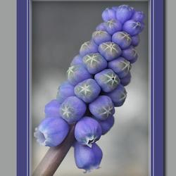 Muscari (blauwe druifjes)