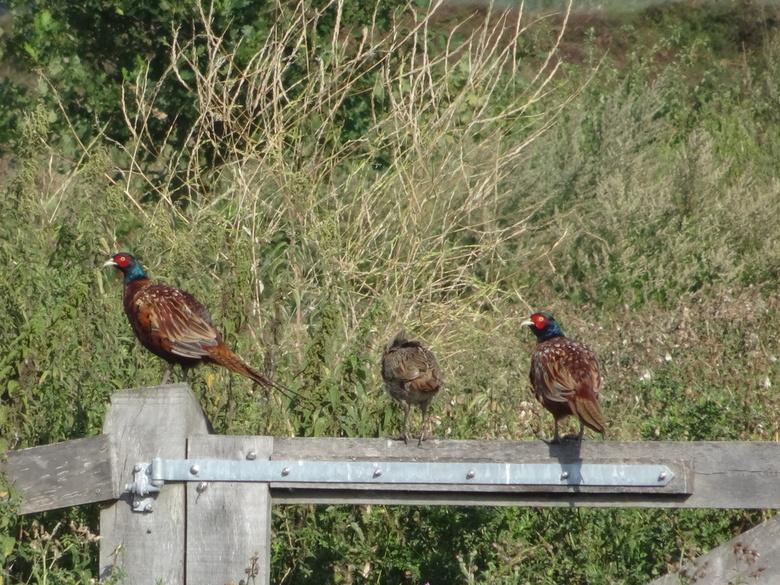 Fazanten op een hek - De familie(?) fazant zit op een hek in de Groenzoom een natuurgebied in Lansingerland - Berkel en Rodenrijs, merkwaardig om te z