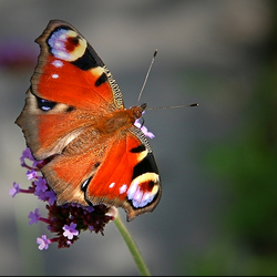 peacock butterfly..