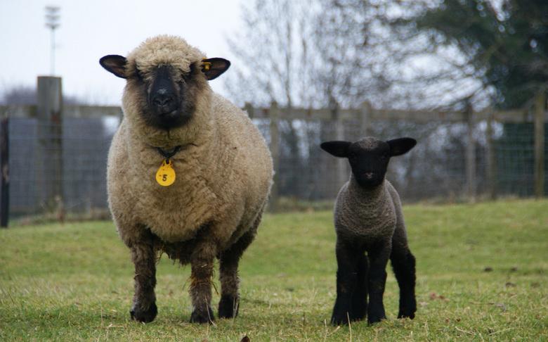 Poserende schaapjes - Moeder en jong poseerden met een wantrouwende blik...