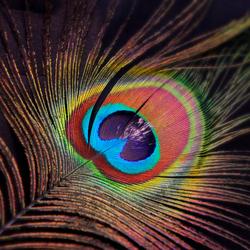 Kleurvolle Pauw veer