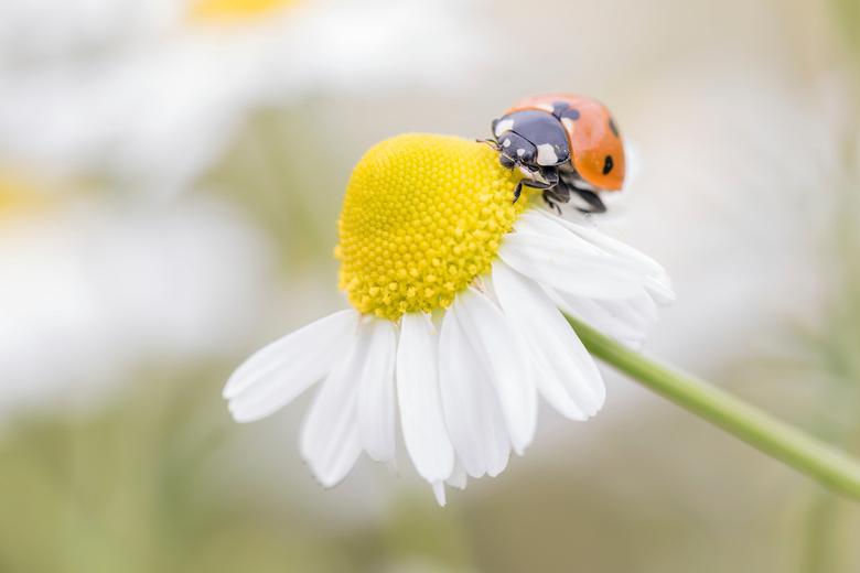 Ladybugflower -