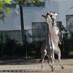 Zebra's in duel