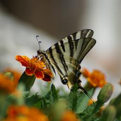 Mariposa de España