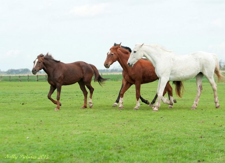 Mooie paarden in de wei III - Samen lekker rennen. het was echt genieten om hier naar te kijken.<br /> <br /> Van wie die paardjes ook zijn. Hij/zij