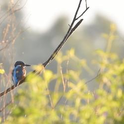 IJsvogel in ochtendlicht