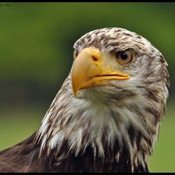 Amerikaanse zeearend (bolt eagle)