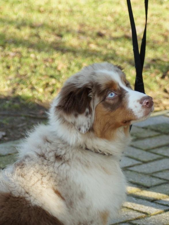 bleu eyes - australian shepherd pup