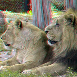 leeuwen Blijdorp Zoo Rotterdam 3D