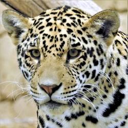 Jaguar jong