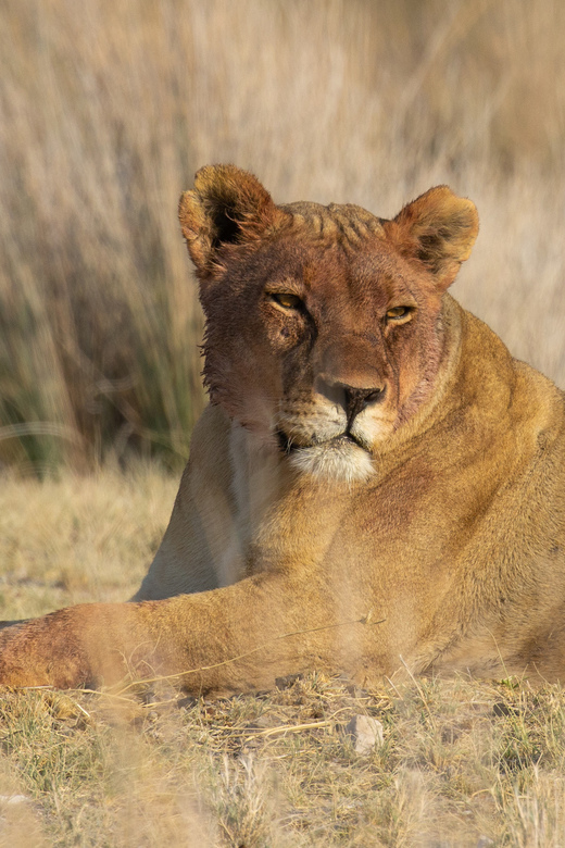 Bloody Lion -