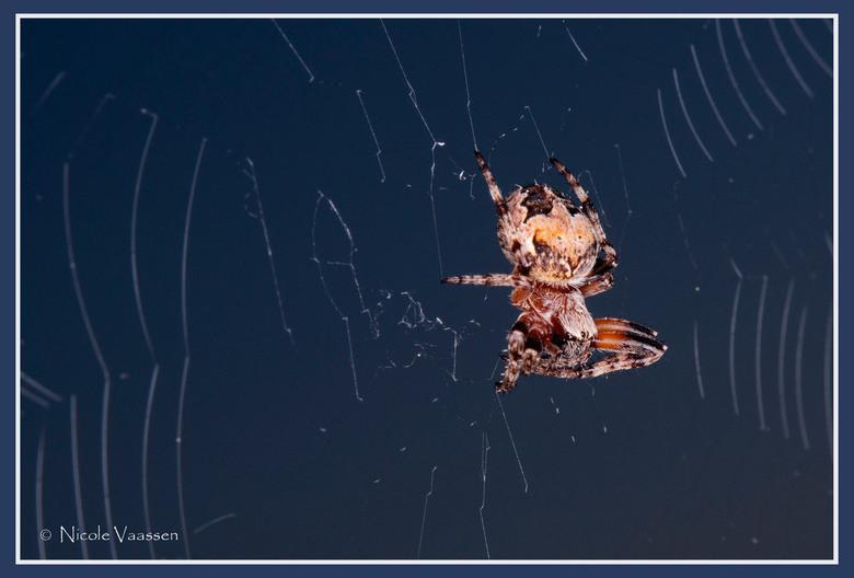 kruisspin - spin gemaakt in het schemer, met ringflitser