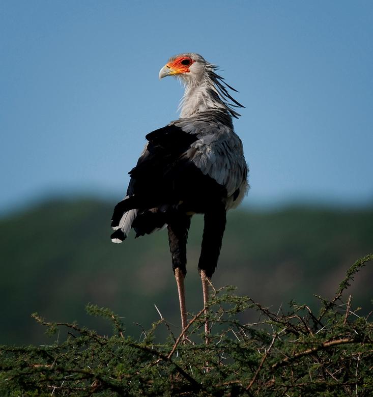 Secretary Bird ( Samburu NP ) - Deze vogel ( eigenlijk een loopvogel ) overnacht in een boom. De opname werd bij zonsopkomst gefotografeerd.