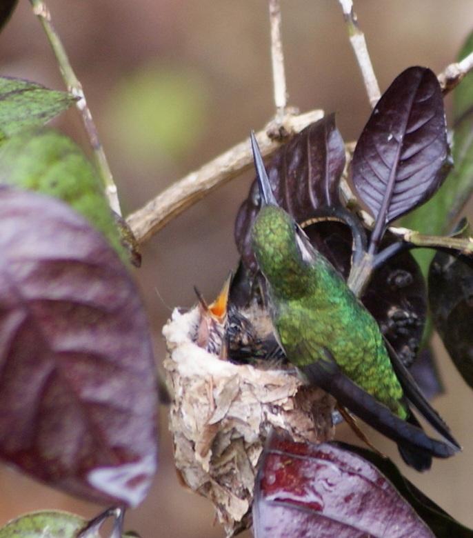 Kolibri met jongen - Kolibri voedt hier de 2 jonge kolibrietjes is het miniscule nestje. In een tropische tuin op Curacao