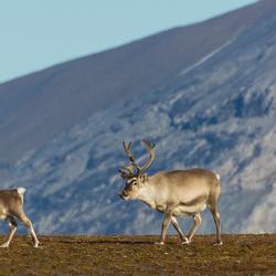 arctische rendieren in Spitsbergen