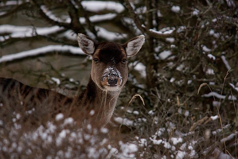 Sneeuwbalgevecht ??? - Dit damhert zat heerlijk in de struiken te sneupen, en kwam zo overeind, tja en dan kun je niet anders dan afdrukken <img  src=