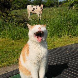 Gapende kat