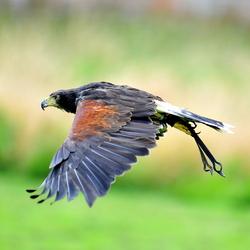Lakeland Bird of Prey, Cumbria, England