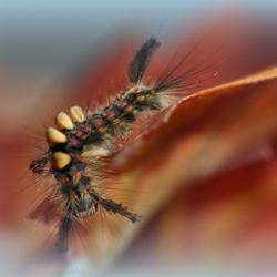 merianborstel(aangepast:rups van de witvlak nachtvlinder)