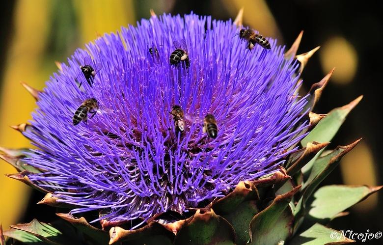 Bloeiende artisjok - De plant heeft bloemen in hoofdjes en puntige omwindselbladeren. De plant heeft prikkelbare meeldraden: bij aanraking met bijvoor