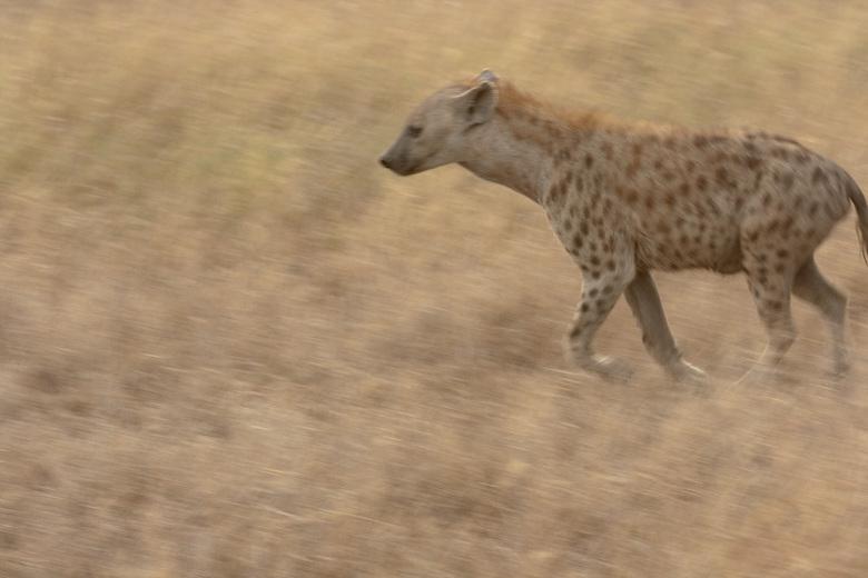 Hyena op zoek naar eten - Hyena in de Serengeti - Tanzania
