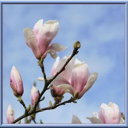 Magnolia ingelijst