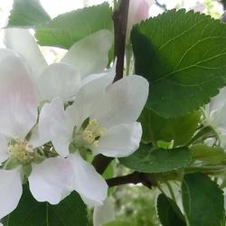 wvw_Bloesem appelboom