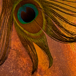 eye of the peacock@zoom