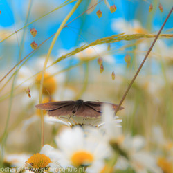 Vlinder tussen de Margrietjes