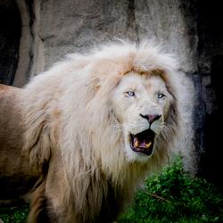 Wit leeuw