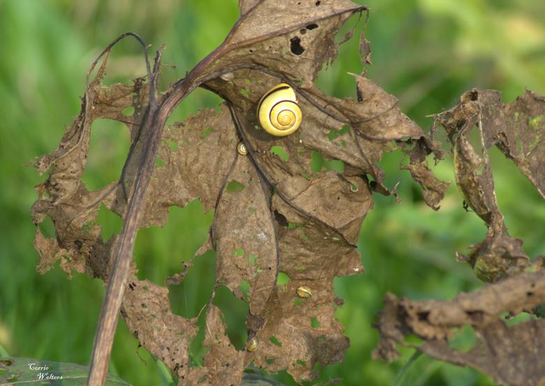 meerdere slakken..op een gevreten blad