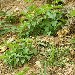 Foto van een hagedis die over een takje klimt.