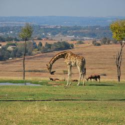 Giraffe aan het water